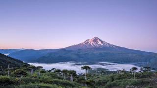 Parc chilien avec des araucarias
