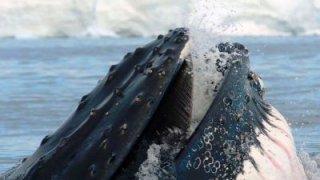 Baleine à bosse - Detroit de Magellan