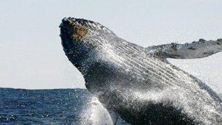 Baleine bleue - Chiloé