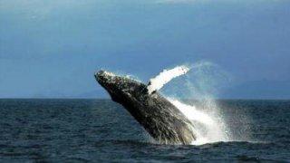 Baleine bossue - Carlos III