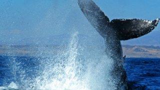 Baleine bossue - ile Carlos III