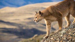 Patagonie Sauvage  du Chili :  Pumas, Baleines à Bosse & Manchots Royaux