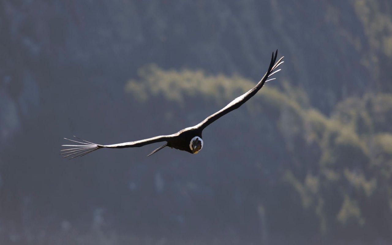 Condor andin volant librement dans la nature - Chili