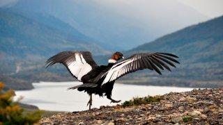 Homme condor andin (Vultur gryphus) à l'état sauvage prêt à décoller, vu en Patagonie, Chili