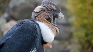Male andean condor - Chili