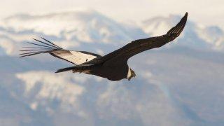 Le Condor, emblème du Chili