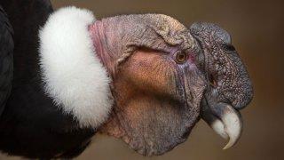 Condor andin - Chili