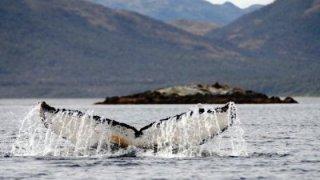 Observer les baleines en Patagonie chilienne