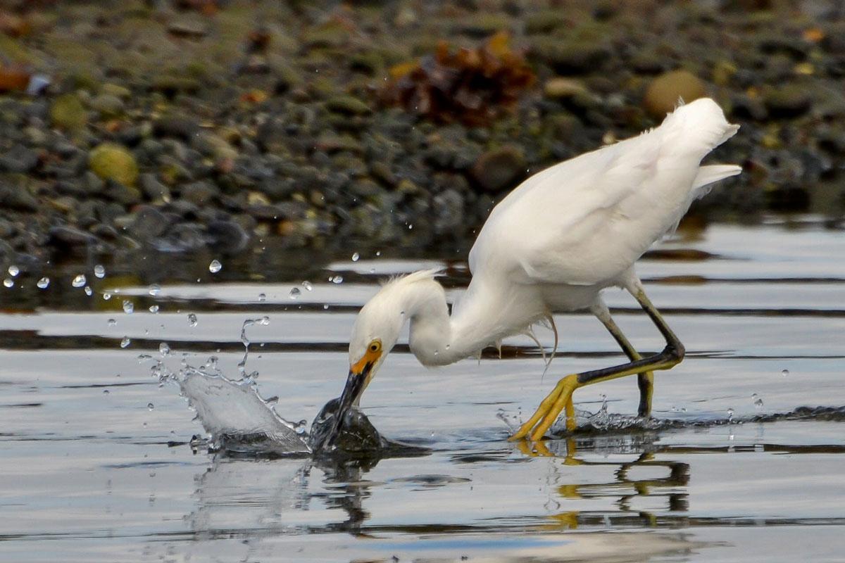 Une aigrette à la pêche sur l'Ile de Chiloé