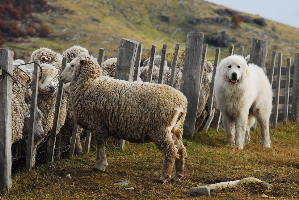 Moutons en Terre de Feu