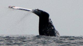 Queue baleine a bosse - fjord de la patagonie chilienne