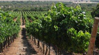 Vignoble de Kingston dans la vallée de Casablanca