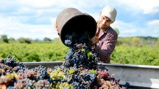 Vigneron lors des vendanges - Terra Chile