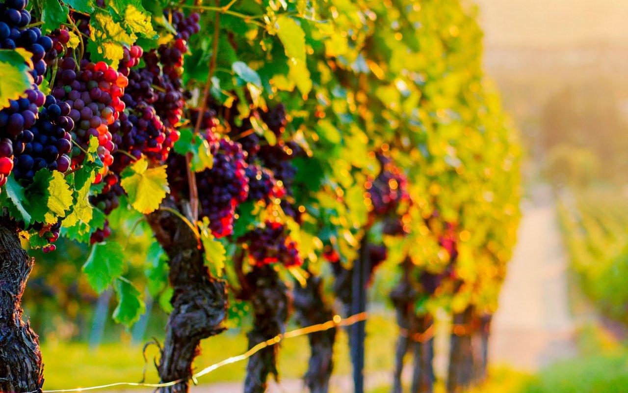 Vignoble avec raisins rouges au coucher du soleil - Terra Chile