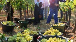 vins chiliens et vendanges
